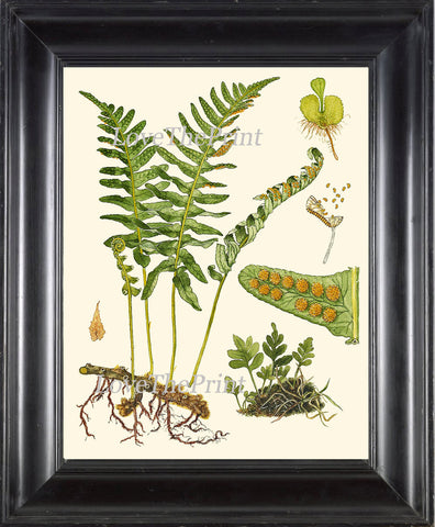 ANTIQUE FERN Lindman  Botanical Art Print 1 Antique Beautiful Green Ferns Forest Nature Natural Science to Frame Wall Decor