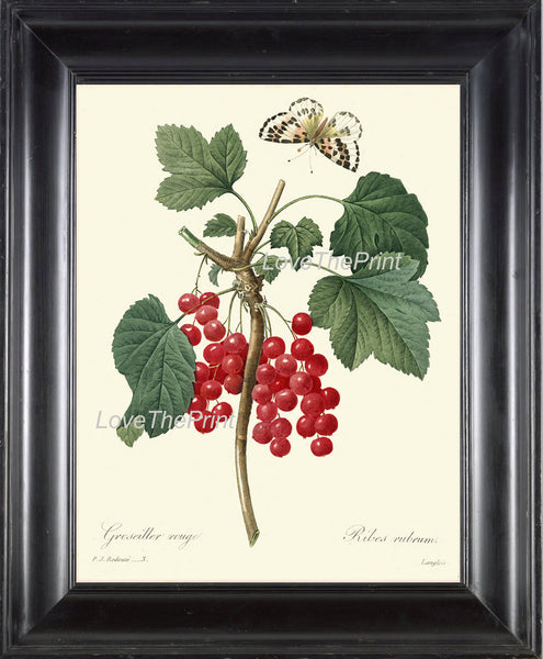 BOTANICAL PRINT Redoute Flower  Botanical Art Print 3 Beautiful Red Currants French Antique Berry Berries Fruit Butterfly Country Nature