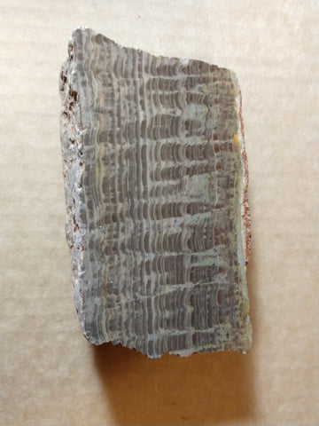 Polished fossil stromatolite. Pseudogymnosolenid type. DOG161