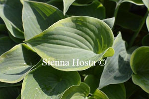 Hosta Toy Soldier