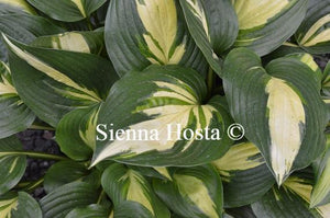 Hosta American Sweetheart