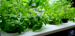 Benefits of growing herbs and vegetables using hydroponics
