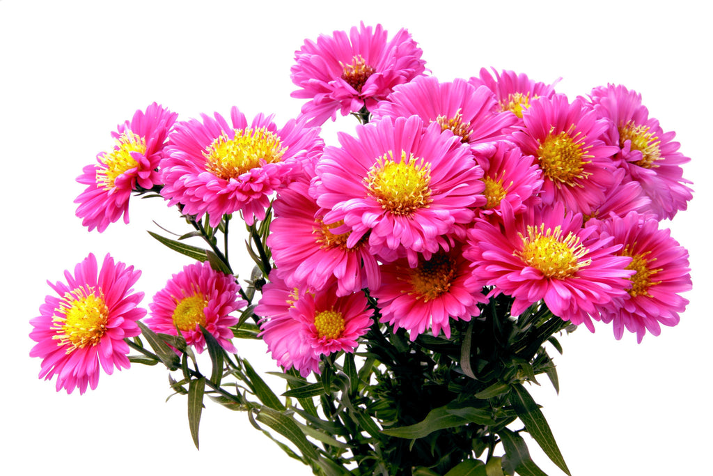 Aster Pink