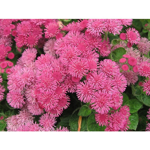 AGERATUM 'Pink Ball' - Boondie Seeds