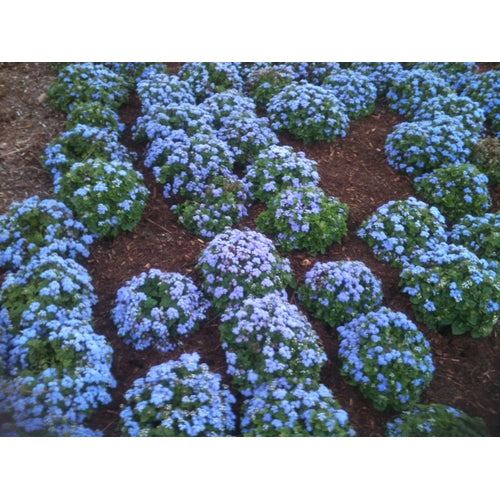 AGERATUM 'Blue Ball' - Boondie Seeds