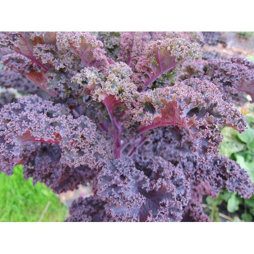 BORECOLE / KALE 'Red' - Boondie Seeds