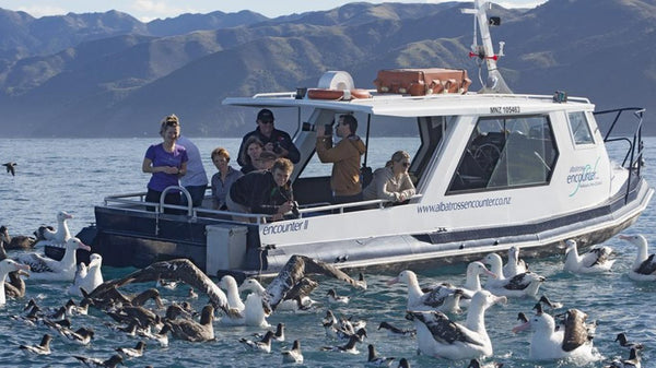 Kaikoura Albatross Encounter