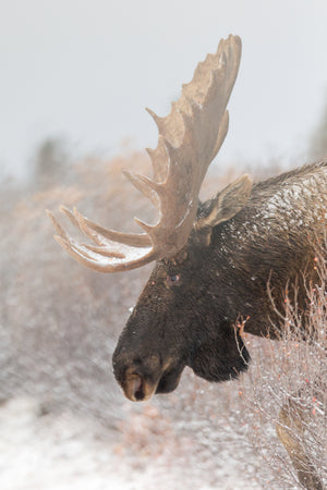 Moose photography print, Moose profile by Rob's Wildlife