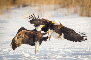 Two American Bald Eagles fighting, bird fight, wildlife photography by Rob's Wildlife