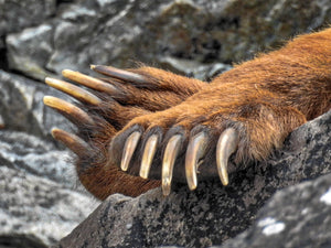 Bear paw closeup, bear claw nails, bear feet, Rob's Wildlife