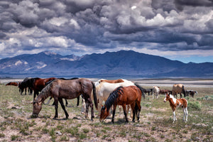 Wild Horses Grazing Photography Print by Rob's Wildlife