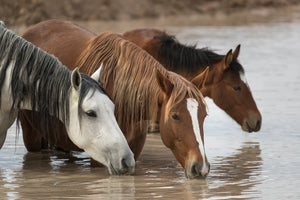 3 thirsty horses, horse closeup art