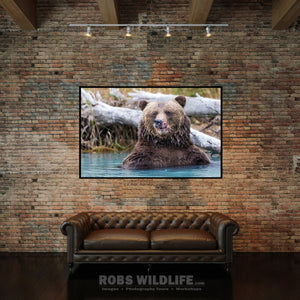 Alaska Brown Bear Close up photography print