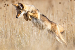 Coyote Mousing, Jumping Coyote by Rob's Wildlife