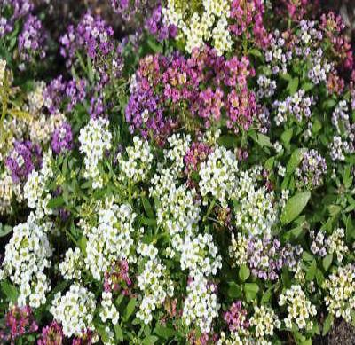 50+ ALYSSUM EASTER BONNET MIX FLOWER SEEDS / HARDY/ ANNUAL TO PERENNIAL - Rancupid Mall