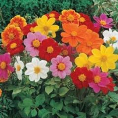"25+ DAHLIA ""PICCOLO"" MIX FLOWER SEEDS / ANNUAL / EASY TO GROW / HUMMINGBIRDS - Rancupid Mall"