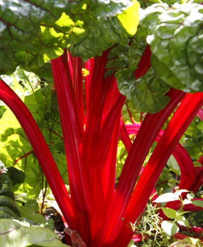 Crimson Red Rhubarb Rheum rhabarbarum Established Roots 1 Plant in 1 Quart Pot - Rancupid Mall