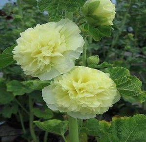 30+ HOLLYHOCK YELLOW CHATERS DOUBLE FLOWER SEEDS - ALCEA / PERENNIAL/DEER RESIST - Rancupid Mall