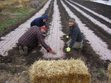 Market gardeners planting seedlings into pre punched organic paper mulch in a field.