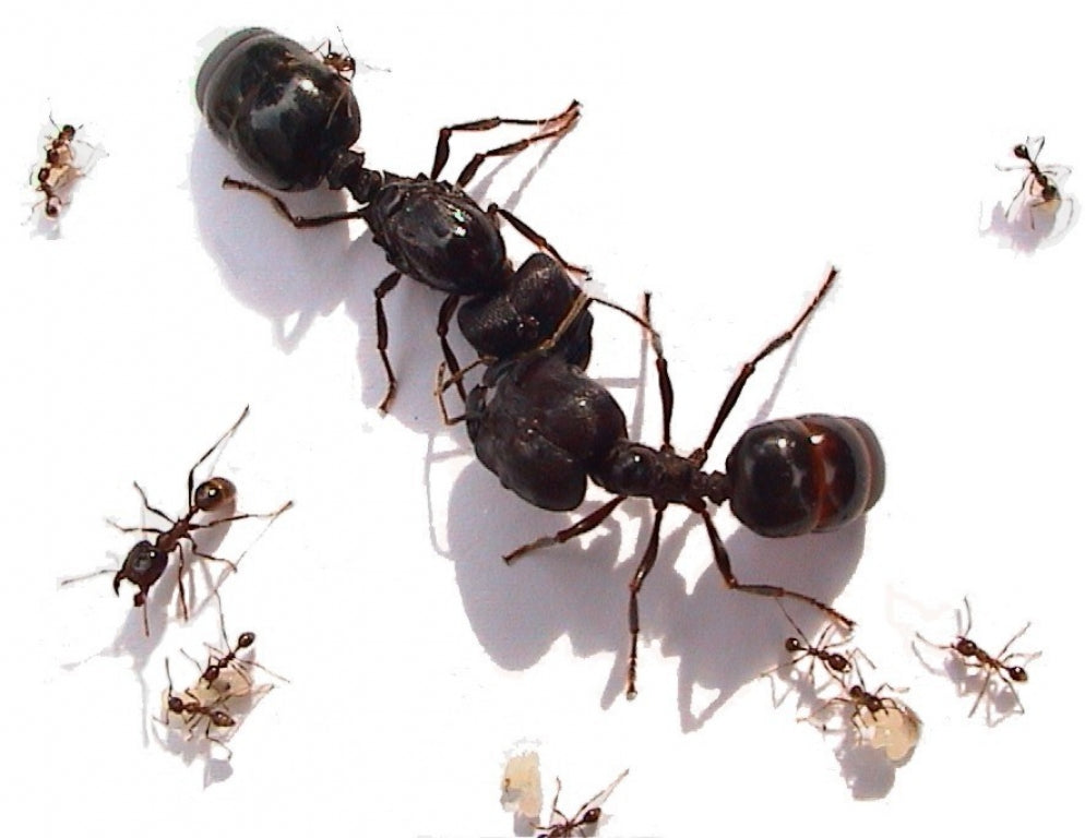 Asian Army Ants (Carebara sp.) - Pet Ants Manila