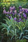An Evening with Iris