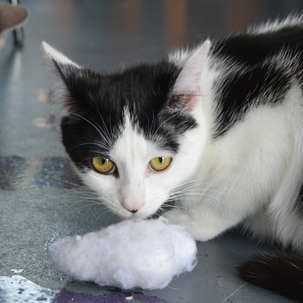 black and white cat with a cloud cat toy