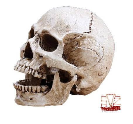 Human skull replica in resin
