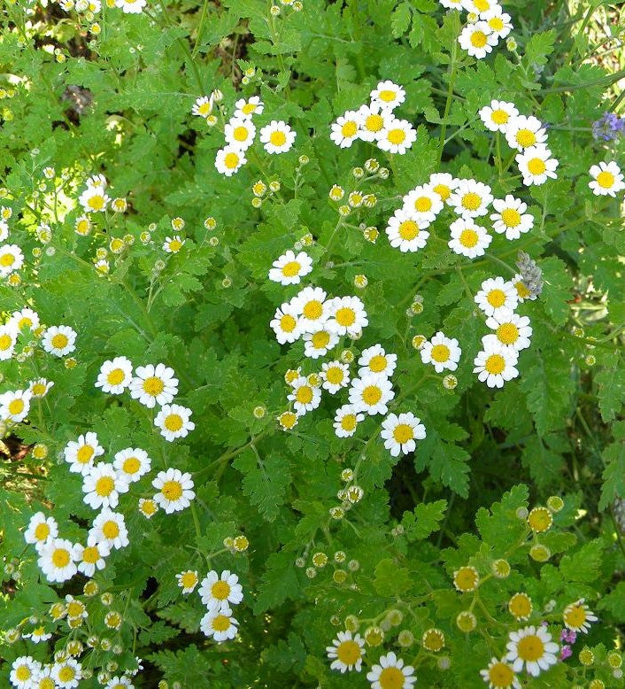 Image of Feverfew Tincture