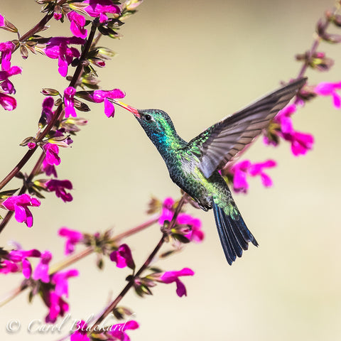 Blue and green hummingbird
