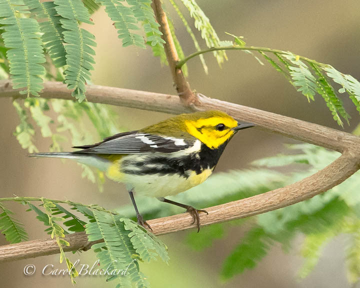 Black-throated green warbler bird in feathery greenery