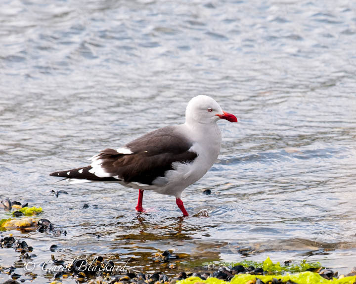 Gull with orange bill and legs walking on watery shore