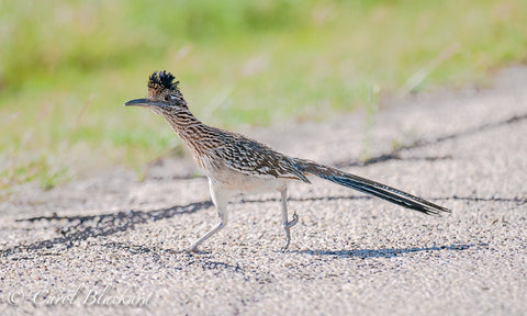 Greater Roadrunner, running, at Lake Colorado City State Park, Texas