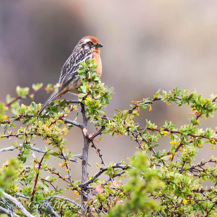Red-eyed speckled bird on top of green bush