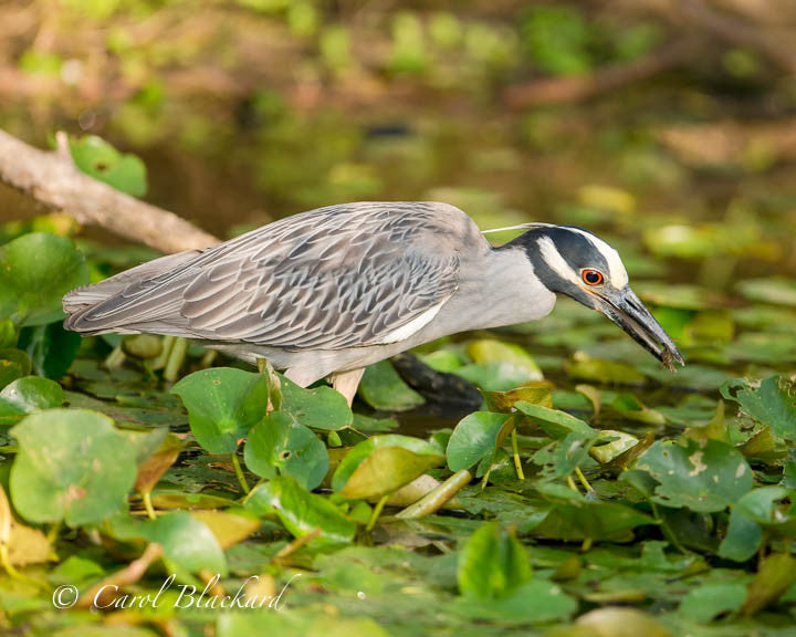 Plumed Heron with food in mouth on waterlilies