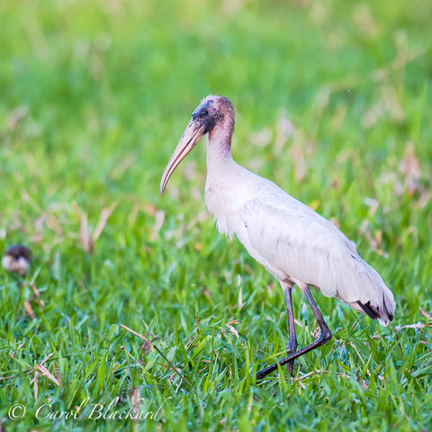 Large white stork walking.