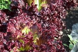 Lettuce Seeds Ruby (Heirloom)