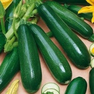 Squash/Zucchini Seeds Black Beauty Summer Squash