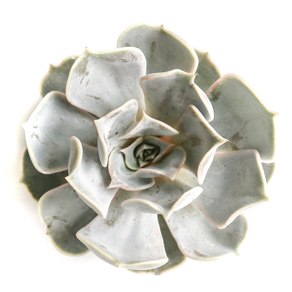 Echeveria Lila Cina - By Succuterra | Succulents, Air Plants & Terrariums