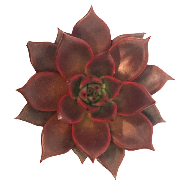 Echeveria Taurus - By Succuterra | Succulents, Air Plants & Terrariums