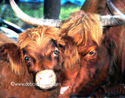 Funny Cows, Scottish Highlanders, MA, 16x20 print
