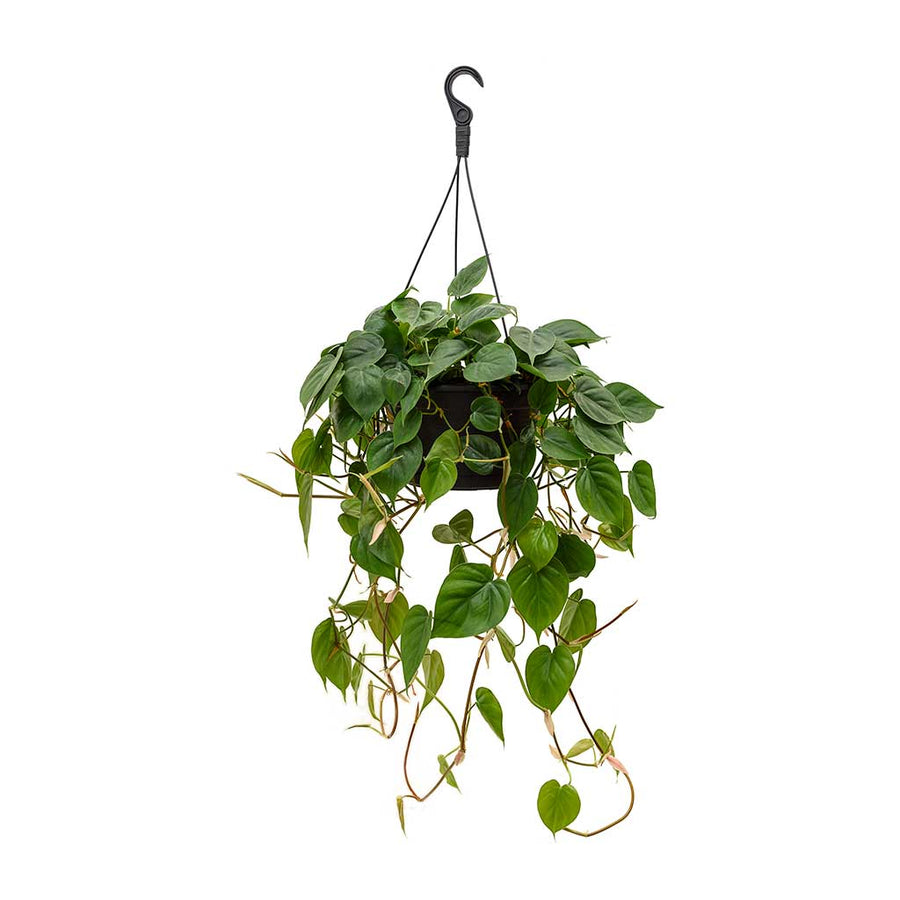 Philodendron scandens - Sweetheart Plant