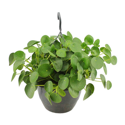 Pilea peperomioides - Chinese Money Plant 27 x 40cm