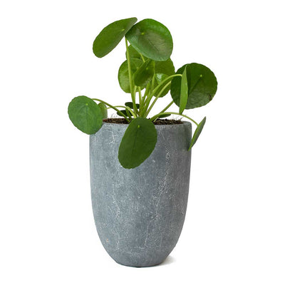 Pilea peperomioides - Chinese Money Plant & Anne Blue Stone Plant Vase