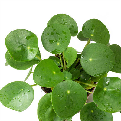 Pilea peperomioides - Chinese Money Plant Leaves