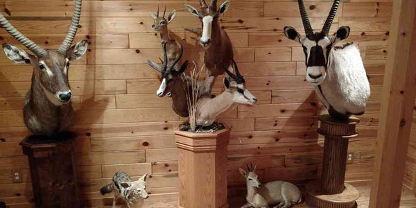 Our Newest Acquisition of Premier Taxidermy