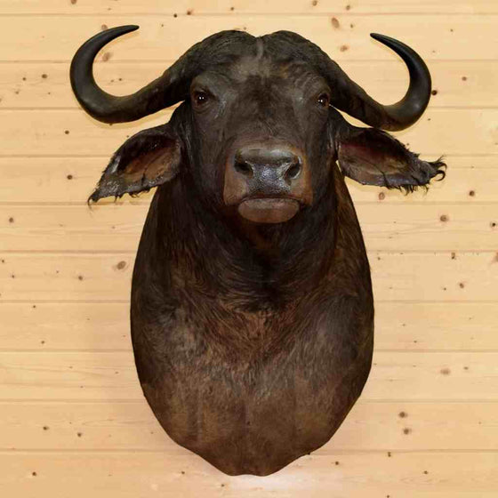 Cape Buffalo Taxidermy Mount