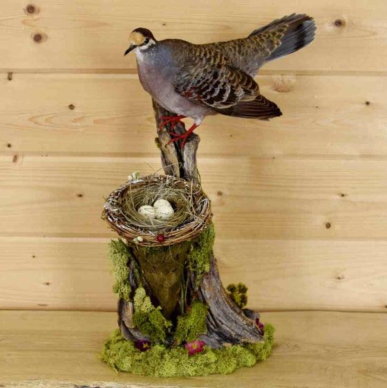 Bronzewing Pigeon Taxidermy Mount
