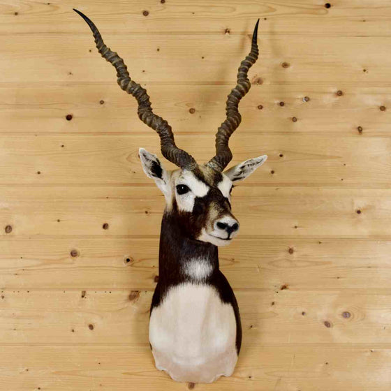 Blackbuck Taxidermy Mounts for Sale