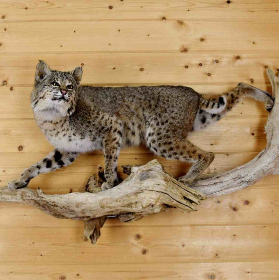 Bobcat Taxidermy Mount - North American