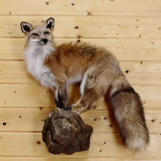 Red Cross Fox Taxidermy Mount for Sale